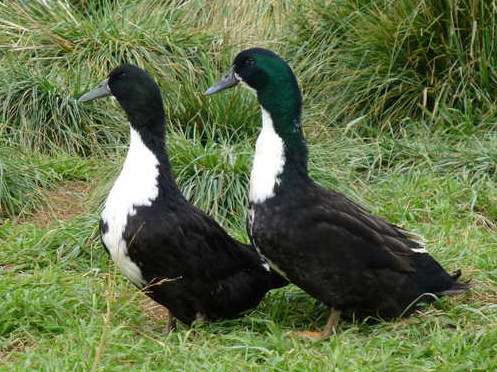 BlackSwedish ducks