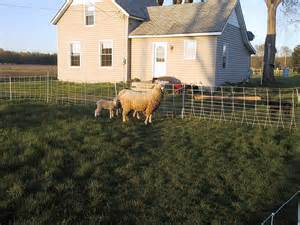 sheep in yard